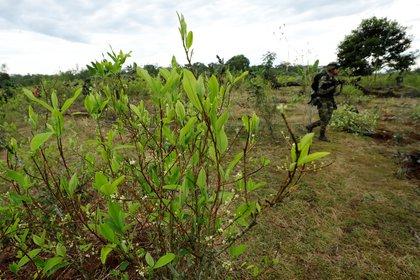 Integrantes del Ejército de Colombia participan de labores de erradicación de coca en zona rural de Nueva Colombia (Colombia). EFE/Mauricio Dueñas Castañeda/Archivo