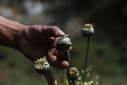 La savia de la amapola constituye la materia prima de la goma de opio, la puerta para la producción de la heroína (AP)