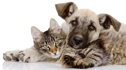 Las feromonas reducen la ansiedad y el estrés en los felinos pretendiendo controlar exitosamente el marcaje o los momentos en los que se excita en exceso, mientras juega utilizando productos médicos que las contengan (Shutterstock)
