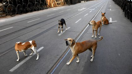 Varios perros en las calles de la India