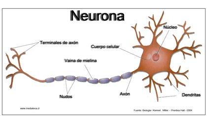 Estructura de la neurona.(Wikipedia)