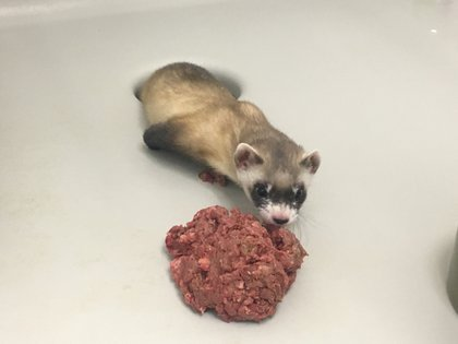 "Photograph provided by the US Fish and Wildlife Service showing the ferret ""Elizabeth ann"" at 60 days of birth.  EFE / Fish and Wildlife Service"