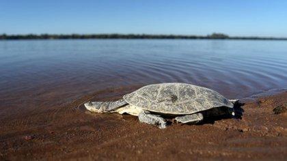 14 tortugas de agua fueron trasladadas desde un antiguo zoológico de La Rioja