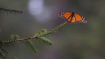 La Reserva, que se ubica en el estado de Michoacán, oeste de México, alberga cada año, de noviembre a marzo, millones de mariposas que migran de Canadá y Estados Unidos (Foto: Archivo)