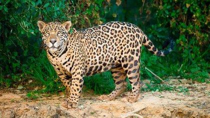 El jaguar es un animal muy activo, recorre hasta 5 kilómetros por día en busca de alimento y agua (Foto: Archivo)