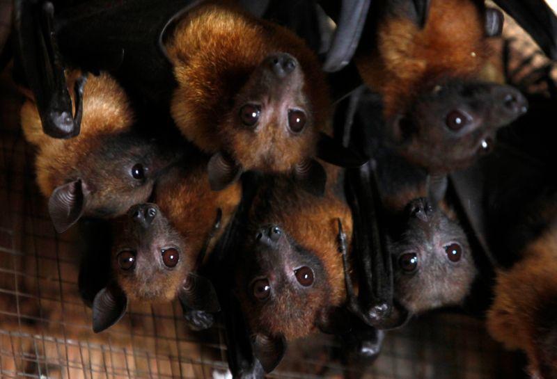 Existen pocos casos conocidos de virus que causan enfermedades que saltan directamente de los murciélagos a los humanos (Foto: REUTERS/Sukree Sukplang)