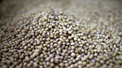 Foto de archivo de granos de soja