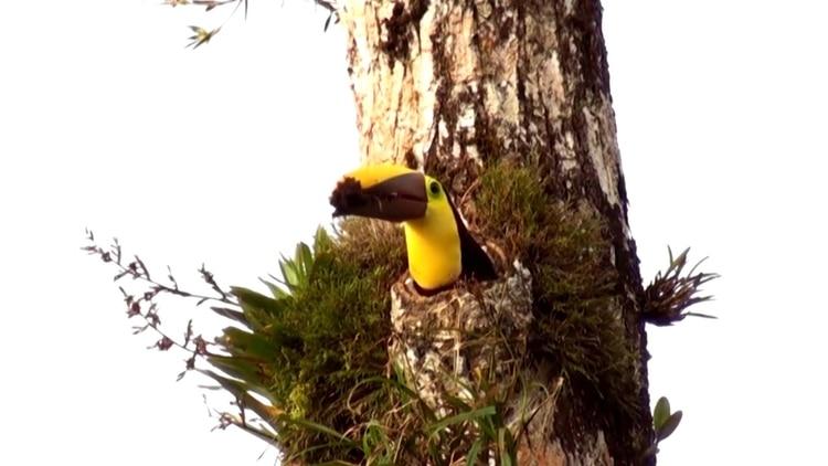 Su nido usualmente consiste en un hueco en las palmas