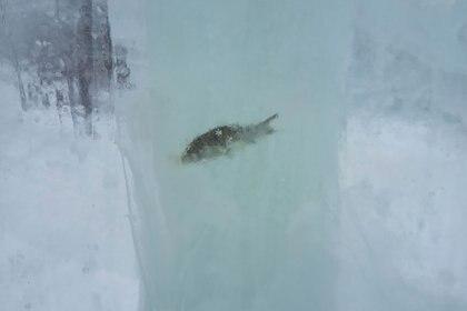 Este año las esculturas de hielo de Tiumen presentaron una decoración involuntaria: peces congelados atrapados en los bloques. (72.ru)