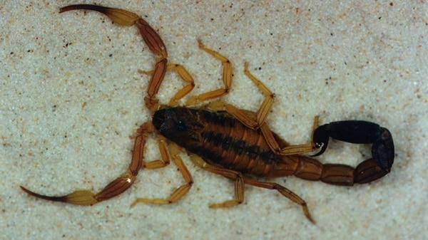 Tityus trivittatus es la especie considerada más peligrosa por el poder de su veneno