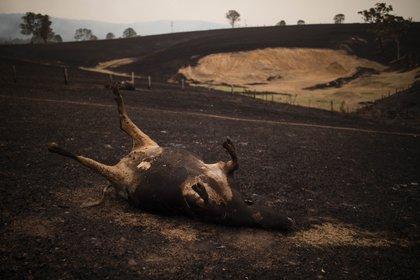 Miles de animales murieron como consencuencia de los incendios en Australia (EFE)