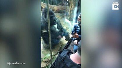 08/04/2021 Este gorila ayuda a un hombre a pasar perfiles en una aplicación de citas.  MADRID, 8 abr. (EDIZIONES) Este es el momento extraordinario en el que un gorila de zoológico parece ayudar a un hombre a pasar perfiles en una aplicación de citas instalada en su teléfono móvil.  SOCIEDAD  YOUTUBE - CATERS - @JIMMYFEEMAN