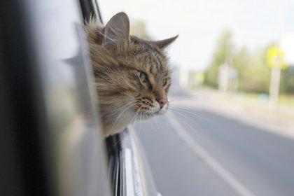 """Tanto los gatos como los perros deben tener un buen comportamiento para poder viajar """"sueltos"""", es decir, fuera de la jaula en el auto (Getty)"""