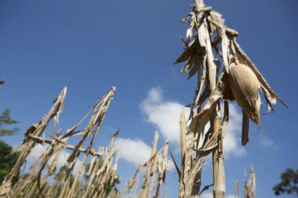 La prohibición, ratificada con un decreto presidencial publicado el 31 de diciembre del 2020, despertó las críticas de los empresarios agroindustriales, pese a que el herbicida está prohibido o restringido en numerosos países. (FOTO: MARCO POLO GUZMÁN HERNÁNDEZ /CUARTOSCURO)