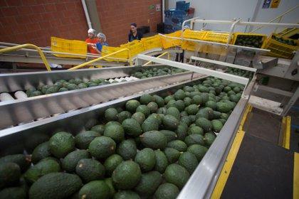 En Colombia entre enero y septiembre pasados se exportaron 50.999 toneladas de aguacate hass que representaron 95 millones de dólares. EFE/Luis Enrique Granados/Archivo