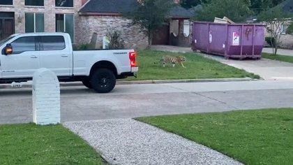 Ini adalah kecelakaan kedua yang melibatkan harimau di lingkungan Houston dalam dua tahun