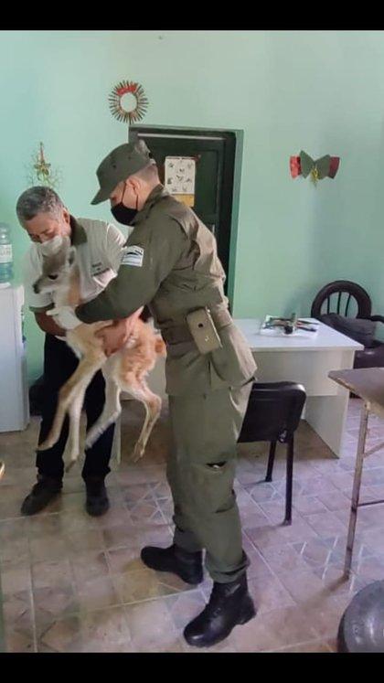 El delegado de Medio Ambiente de Calingasta recibe a la guanaca rescatada