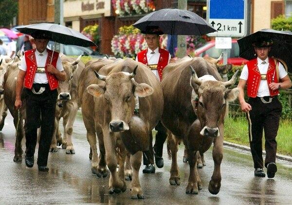 En Suiza, los grandes cencerros de las vacas son una tradición (Regina Kuehne/AP)