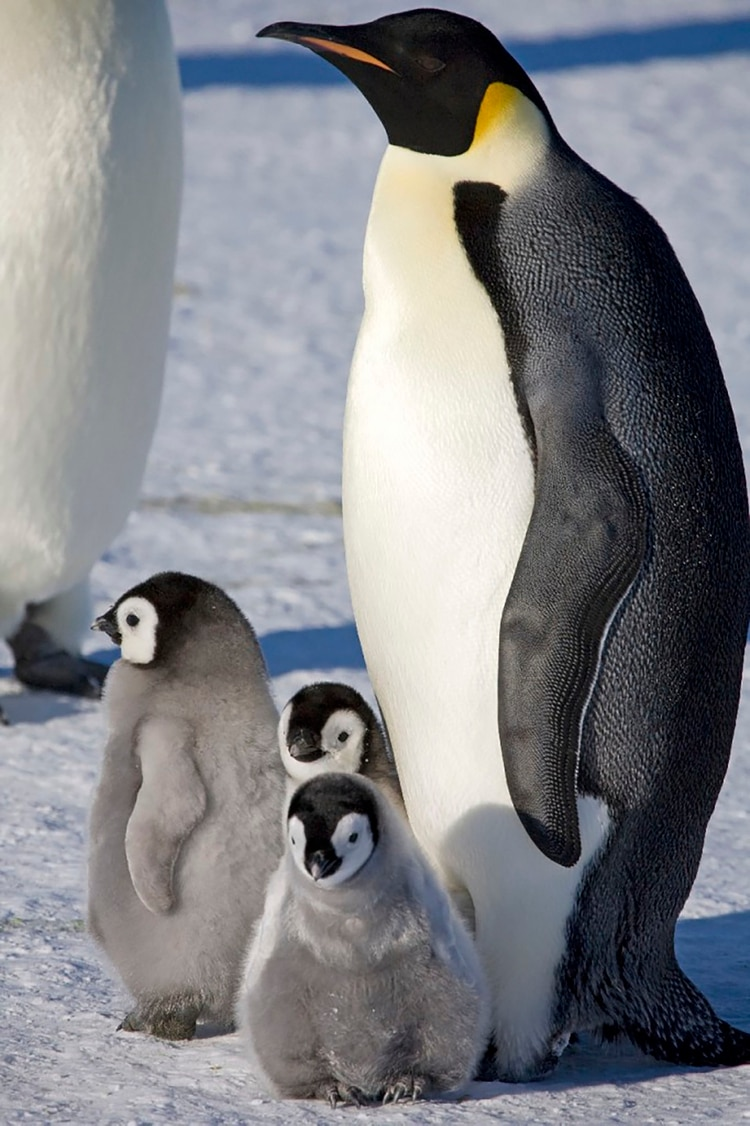 Esta especie se hizo conocida mundialmente –incluso para los niños– con la película animada Happy Feet, estrenada a finales del 2006