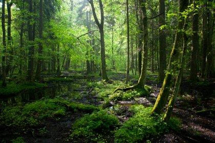 Abarcando todo el Parque Nacional Białowieża en el este de Polonia, el vasto bosque crea un oasis de desierto en medio de un continente lleno de gente (Shutterstock)