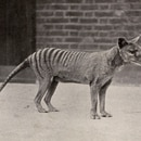 Mandatory Credit: Photo by Historia/Shutterstock (9850929a) Tasmanian Tiger Or Thylacine (thylacinus Cynocephalus) in Captivity at London Zoo. the Species is Believed to Be Extinct. Largest Known Carnivorous Marsupial of Modern Times - Became Extinct in 1936 - Was an Apex Predator. Unattributed Postcard Tasmanian Tiger Or Thylacine