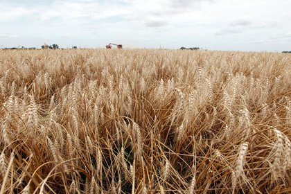 En enero cayeron las exportaciones de trigo  (REUTERS/Enrique Marcarian)