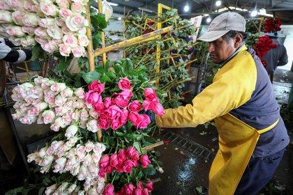 Fotografía del 8 de febrero del 2019, de un trabajador que selecciona flores, en la provincia de Cotopaxi (Ecuador). EFE/José Jácome/Archivo