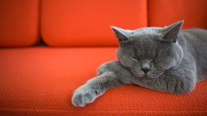 Un gato sano y bien criado es un individuo ordenado en sus costumbres: duerme como buen predador el tiempo que puede y necesita (Shutterstock)