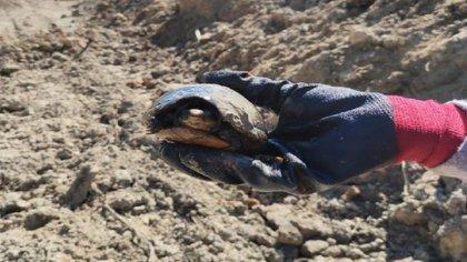 Rescate de una tortuga (Foto: Twitter/TrenPalenque)