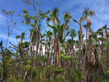 La palma Acoelorraphe wrightii resistió los fuertes vientos del huracán Iota en la isla de Providencia. Foto: Instituto Alexander von Humboldt.