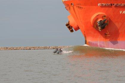Delfines huyen de un buque. Proyecto Botos, Laguna de los Patos, archivo del proyecto