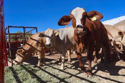 El trato humanitario de los animales también reduce la probabilidad de transmisión de enfermedades a los consumidores.  (FOTO: SADER /CUARTOSCURO.COM)