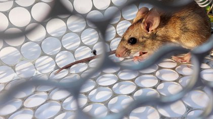 The long-tailed mouse is the main reservoir and transmitter rodent, shedding the virus through saliva, feces and urine (Shutterstock)