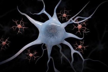 """Los científicos descubrieron que el proceso de regeneración solo requiere que el organismo """"vuelva a encender"""" sus primeros procesos de desarrollo MARK HALLETT"""