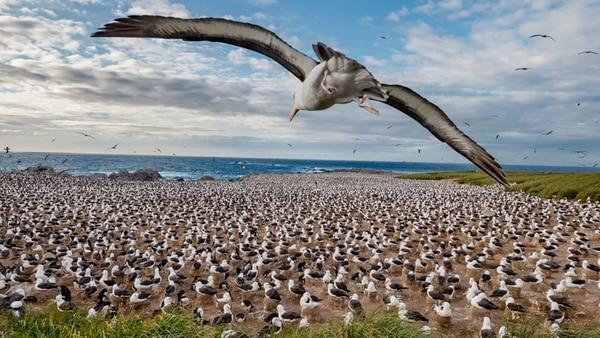 Una colonia de albatros en las Islas Malvinas, 2015. Fotografía de Paul Nicklen (National Geographic)