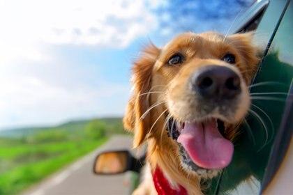 Para el conductor y acompañantes de un auto, el perro es un peligro potencial si no viaja adecuadamente, ya que durante un accidente su peso se triplica (Getty)