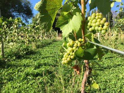 El paisaje está dominado por grandes bardas y viñedos protegidos con cortinas de álamos por los permanentes vientos, que obligan a las uvas a engrosar su piel