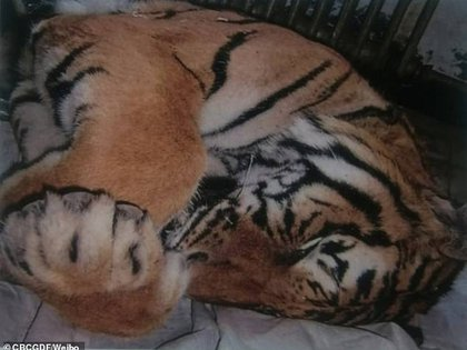 Los tigres siberianos son una especie en peligro de extinción por lo que su desmembramiento para fines comerciales es considerado un delito (Weibo CBCGDF)