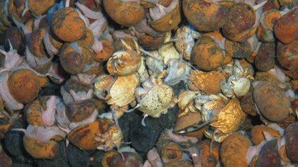 Cangrejos peludos fueron uno de los descubrimientos que hicieron los biólogos ingleses