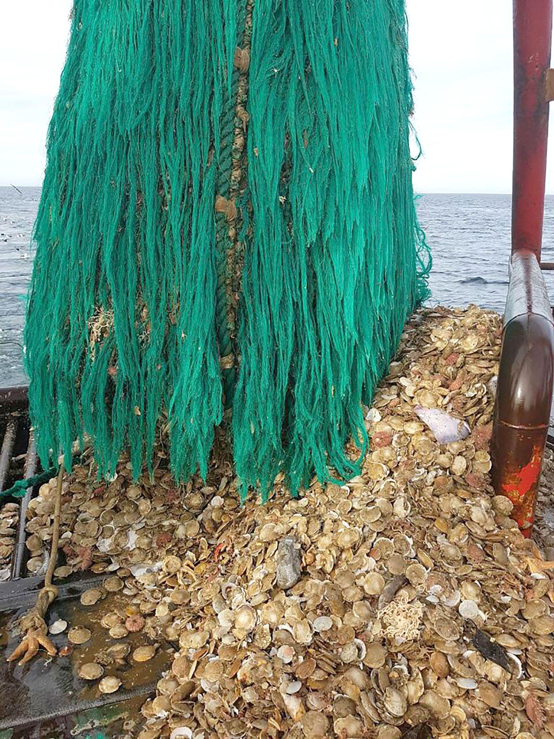 Vieira patagonica Wanchese Pesca Exportaciones