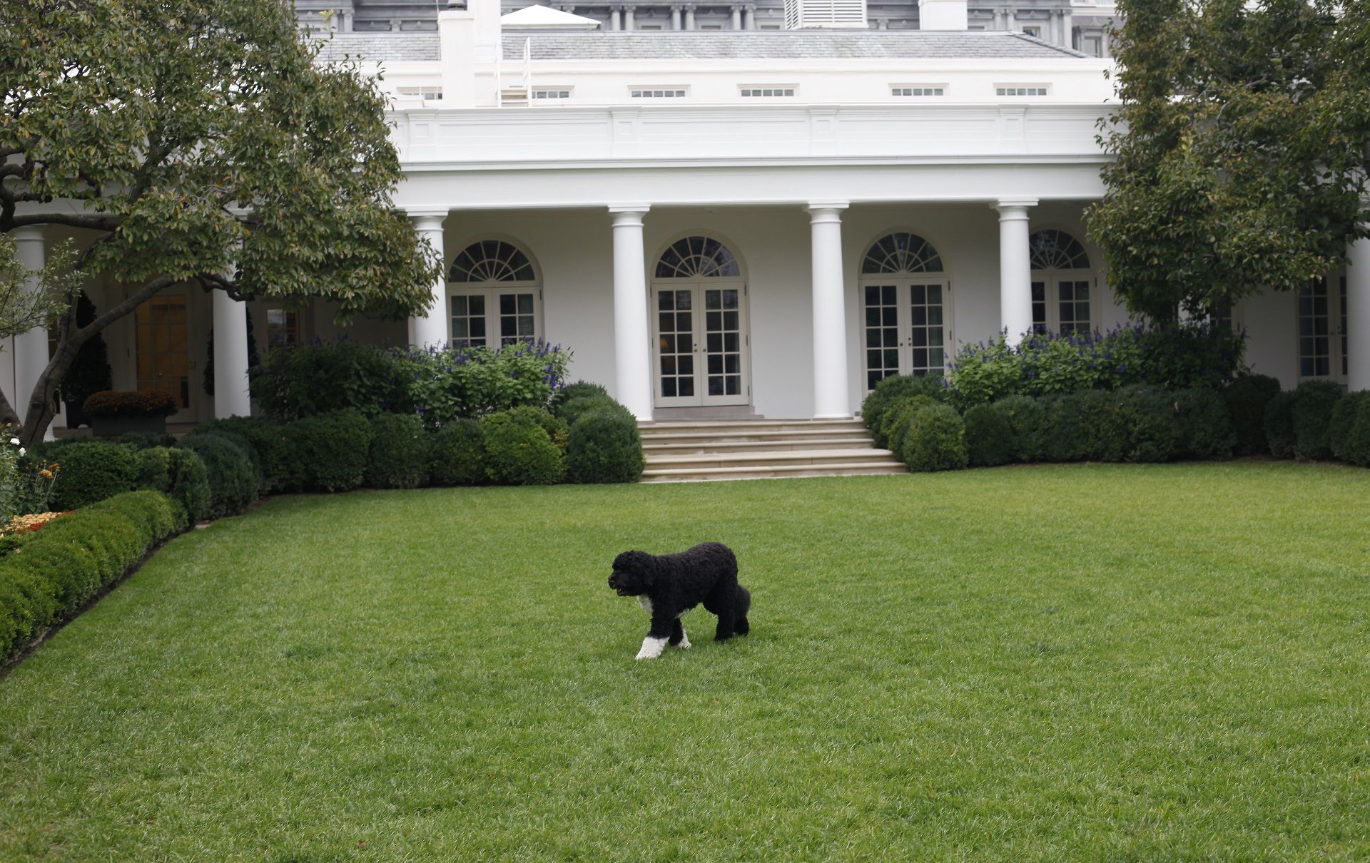 FILE - In this Oct. 11, 2011, file photo Bo, the Obama family dog, walks in the Rose Garden of the White House in Washington. Former President Barack Obama's dog, Bo, died Saturday, May 8, 2021, after a battle with cancer, the Obamas said on social media. (AP Photo/Pablo Martinez Monsivais, File)