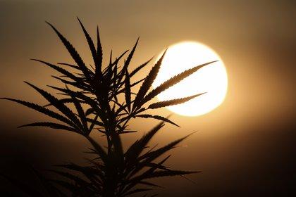 En Argentina, la ley para para autorizar la comercialización y el uso de aceite de cannabis en casos de epilepsia refractaria ya fue aprobado en la Cámara de Diputados y aguarda ahora su paso por el Senado  (Reuters)
