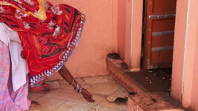 Para llegar al templo hindú de Karni Mata, los devotos viajan largas distancias para rendir tributo a 20 mil ratas (iStock)