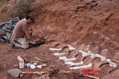"""Un científico del Conicet La Plata que participó del hallazgo de un gigantesco dinosaurio """"cuello largo"""" en Neuquén, advirtió este jueves que """"debería haber más huesos"""" y que """"se podrán ver cuando se pueda continuar con las excavaciones"""""""