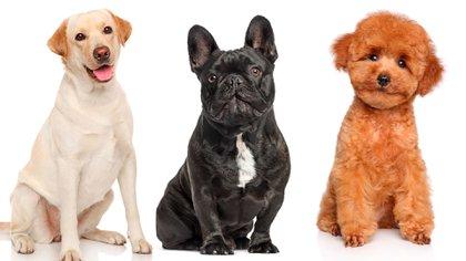 El bulldog francés es el perro más buscado por los argentinos, así como también el labrador y el caniche