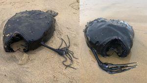 Un pez balón apareció en la playas de California: expertos no saben cómo llegó ahí