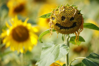 A smiley face is seen carved into the head of a sunflower in a field in Dunham Massey, Britain, August 13, 2020. REUTERS/Phil Noble