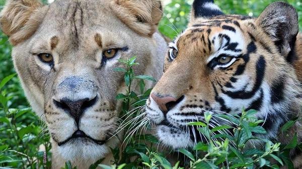Worksheet. La increble historia de amistad entre un len un tigre y un oso