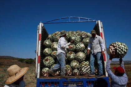 Imagen de archivo de jimadores cargando un camión con piñas de agave azul tras su cosecha en Tequila, Jalisco, México.  Foto: REUTERS/Carlos Jasso
