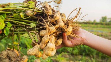 La producción de maní en Córdoba retrocedió 8%, por la menor superficie sembrada en 10 años
